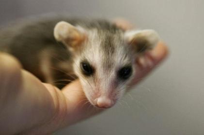 40307-babypossum