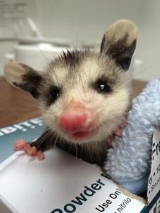 baby-possum3