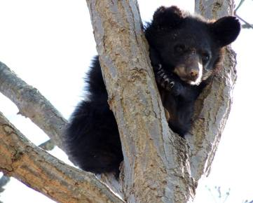 bear-cub-in-tree