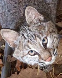 wcv-bobcat-kitten-2016