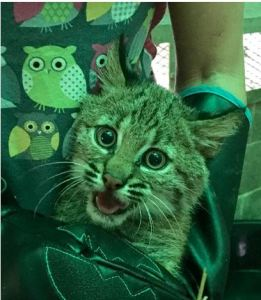 wcv-bobcat-kitten